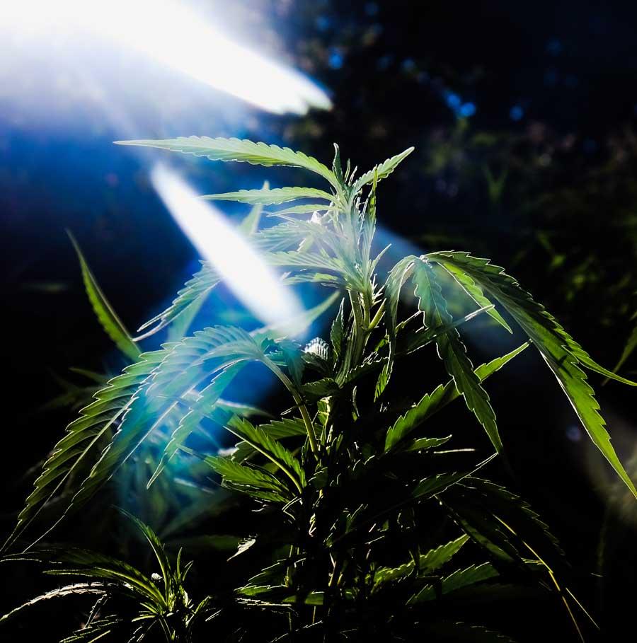 best organic soil for cannabis